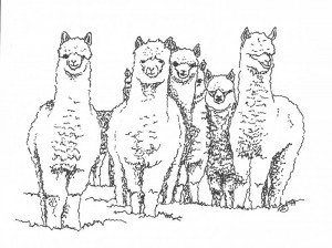 group of alpacas pen and ink drawing
